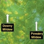 Downy and powdery mildew on a grape leaf