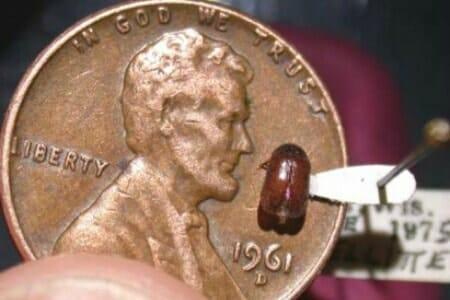 black carpet beetle coin