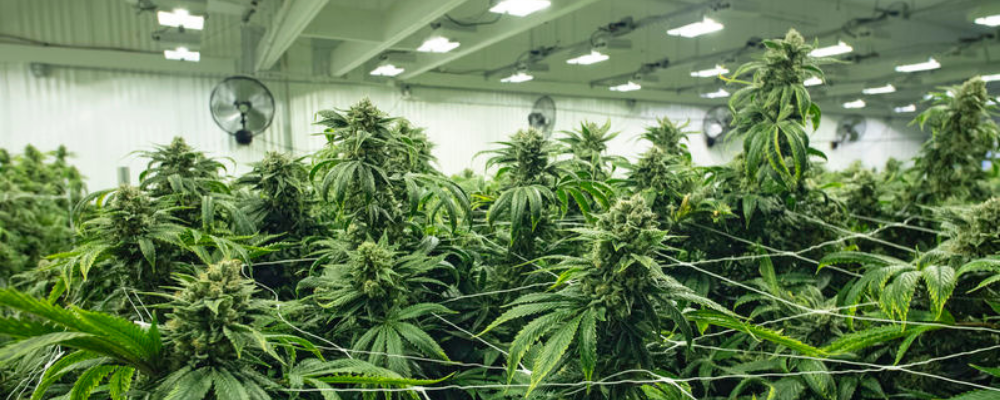 commercial cannabis greenhouse chicago